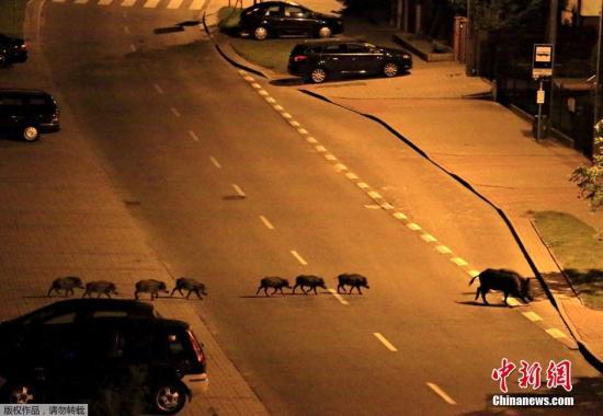 香港太平山顶野猪泛滥 不怕人成群结队在道路觅食