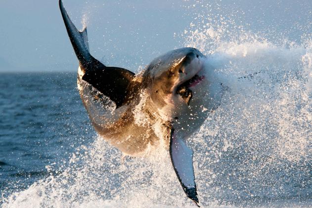 """南非大白鲨觅食太兴奋在海面""""翩翩起舞"""""""