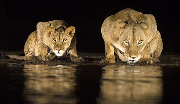 摄影师夜里蹲守拍到狮群水塘边饮水珍贵照片