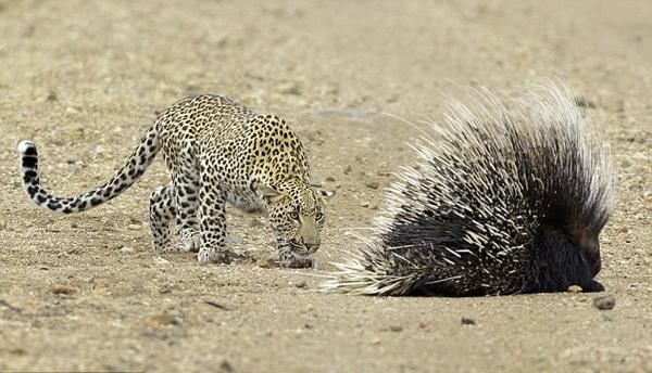 南非花豹面对豪猪全面防御无从下口悻悻撤退