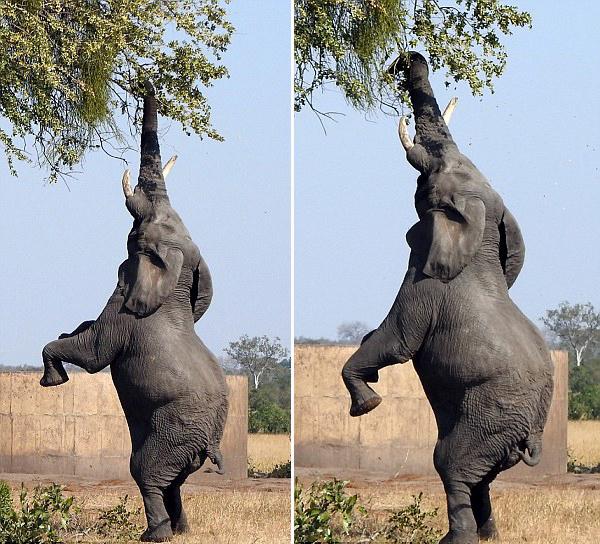 南非大象模仿长颈鹿仅用后腿站立进食