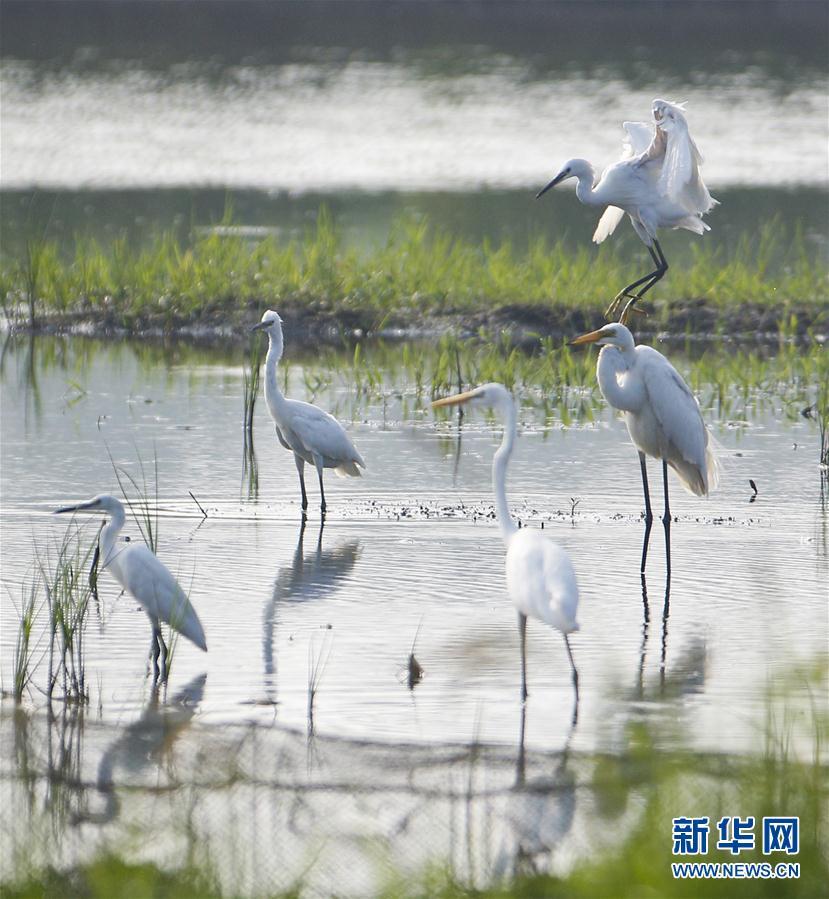 盛夏时节,大批鹭鸟