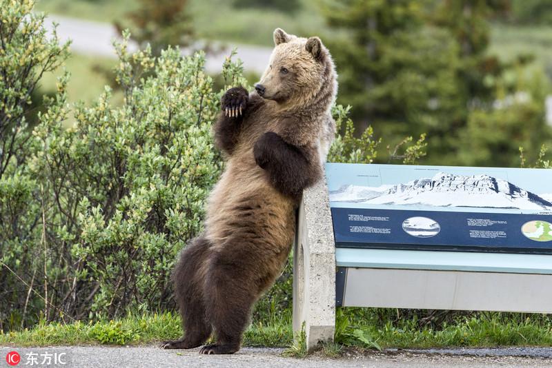 奇痒难耐!大棕熊靠标牌上挠痒痒似跳热舞