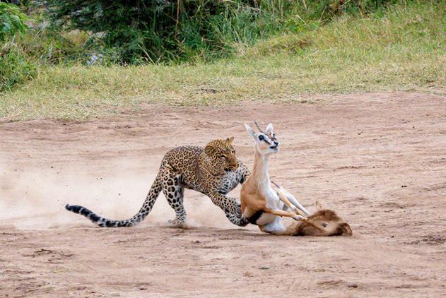 摄影师拍非洲豹子狩猎精彩画面 羚羊惨遭秒杀
