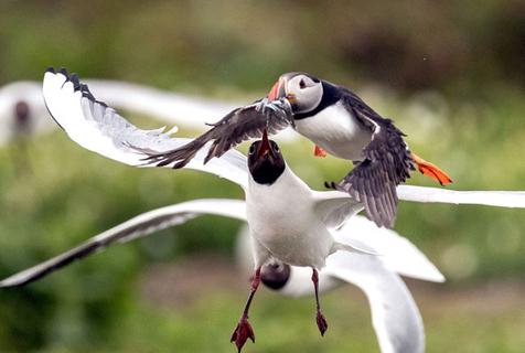 生存不易!海鹦连续遭劲敌夺食 成功护住食物