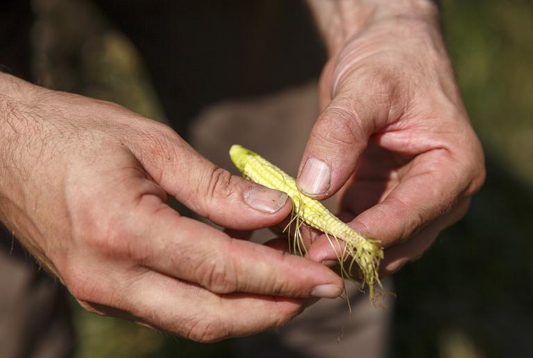 德国北部大旱粮食收成锐减 玉米仅有铅笔大小
