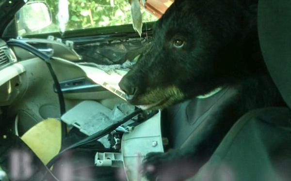 美一黑熊跑进私家车大搞破坏车内一片狼藉
