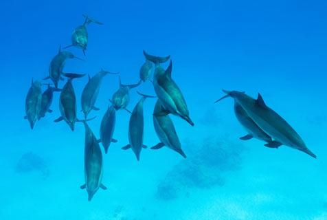 非洲红海暗礁海豚飞旋畅游憨萌可爱