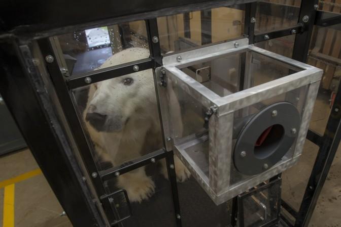 科学家让北极熊走上跑步机,连熊都开始健身了?