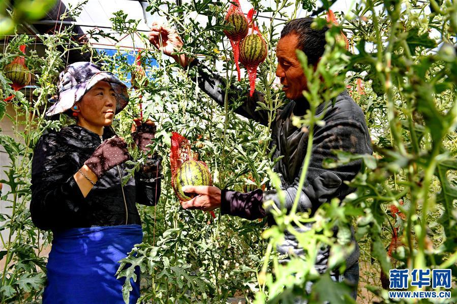 西藏阿里:生态农业促脱贫(图)