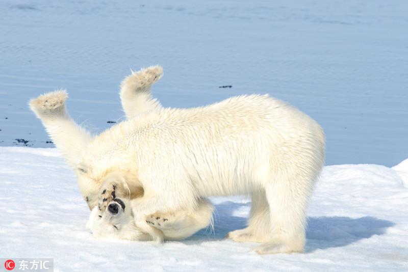 盘点北极熊的萌照!全球变暖生存担忧