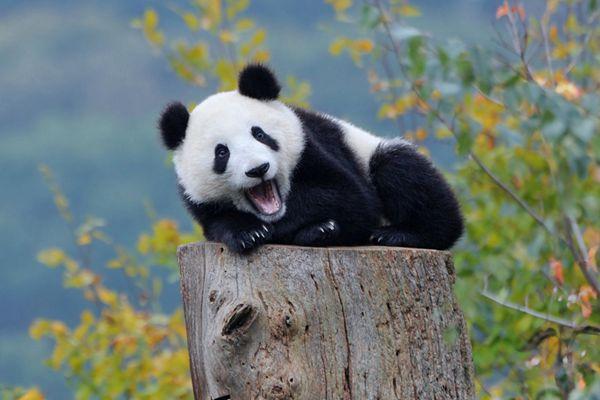港媒:中国从保护大熊猫获益10至27倍