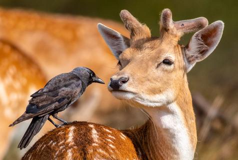 围观动物朋友圈!英国寒鸦轻蹭小鹿亲昵无比