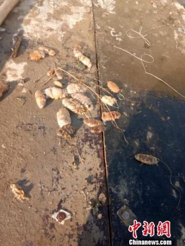 持续高温致大连海参大面积死亡 养殖户损失惨重