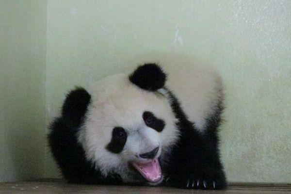 法国首只大熊猫宝宝1岁啦!生活近照曝光萌态百出
