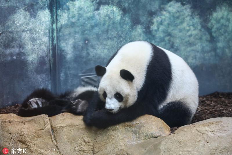 法国首只大熊猫宝宝生活近照 萌态百出
