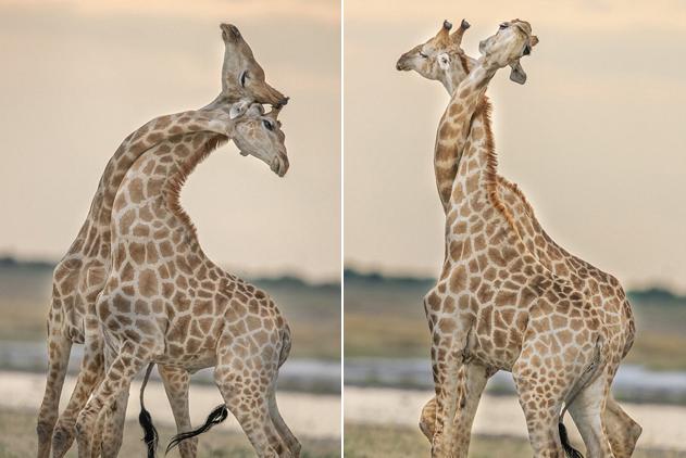 """纳米比亚两长颈鹿上演凶悍""""脖斗""""为争夺地位"""