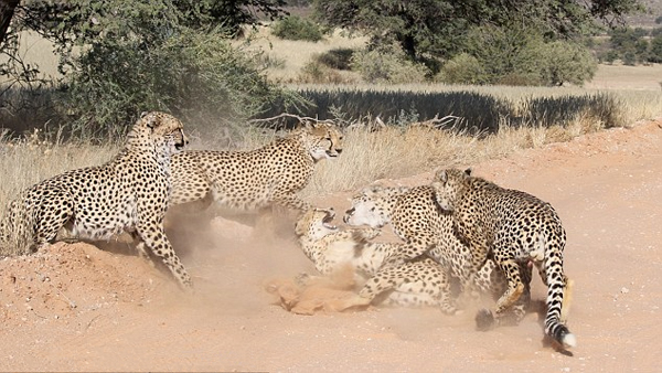 博茨瓦纳一母豹不堪叨扰击败四只发情挑衅公豹