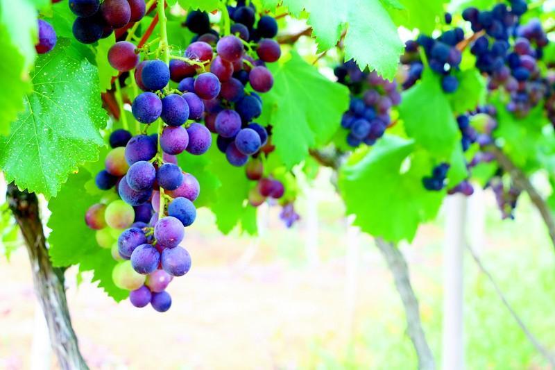 贵安新区:葡萄熟了 富了村民