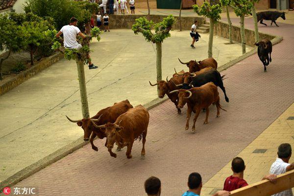 西班牙小村上演奔牛节狂欢 男子爬上树尖逃命