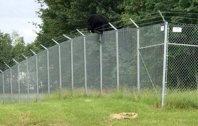 阿拉斯加黑熊轻松翻越数米高铁丝围栏