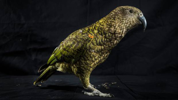 新西兰一家养啄羊鹦鹉活到45岁 爱喝可乐吃牛排