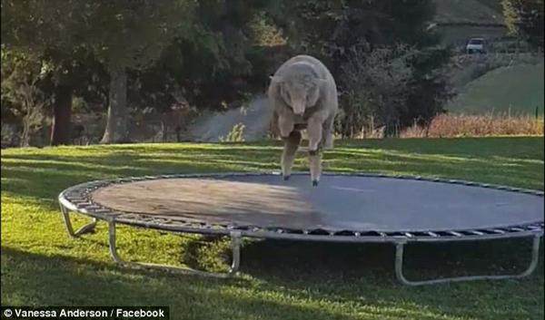 新西兰一绵羊爱上蹦床 放腿撒欢走红网络