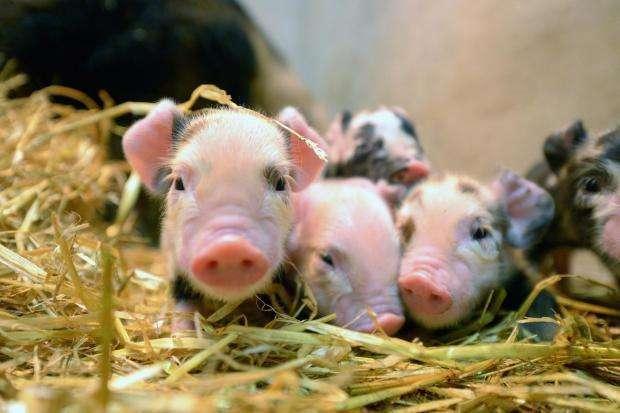 """猪已用上""""人造肺""""科学家:10年内有望移植人身上"""