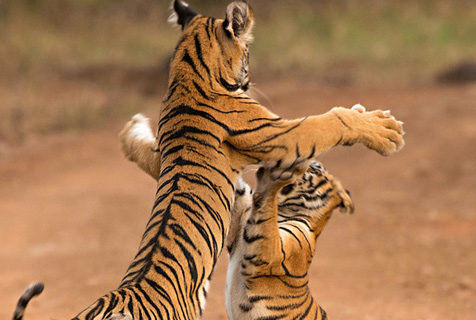 印度小老虎路边打架斗殴 模样搞笑似跳热舞