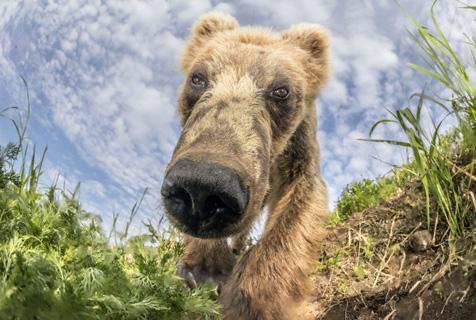 俄罗斯大熊好奇打探镜头 拍摄大头照笑死人