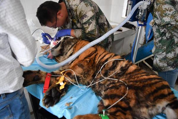 云南野生动物园为百兽之王洗牙齿