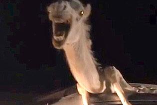 印度一骆驼车祸被困在车内 挣扎哀嚎4小时