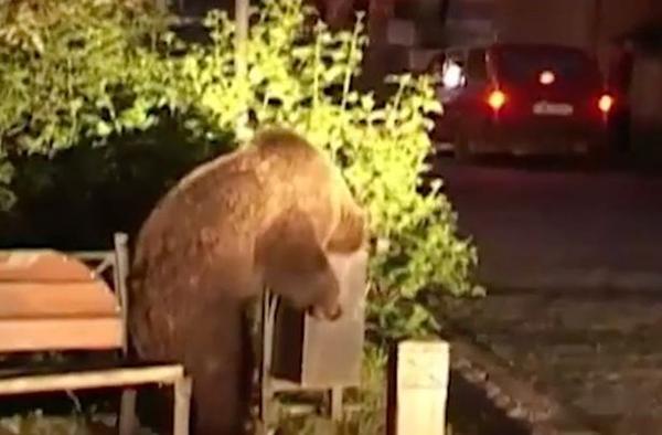 罗马尼亚小镇频发熊袭人事件 居民叫苦连连