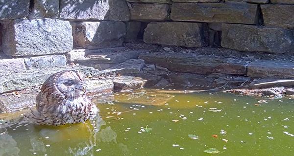 机智!猫头鹰大白天为解暑飞至水池边饮水泡澡