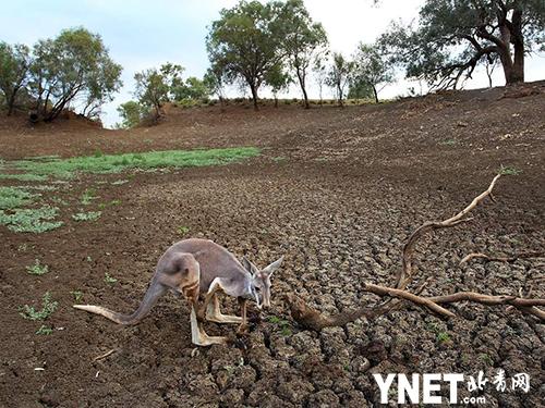 澳洲遭半世纪以来最严重干旱 政府鼓励农民射杀更多的袋鼠