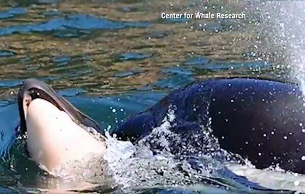 令人心碎!虎鲸驮着幼崽尸体哀悼超过两周之久