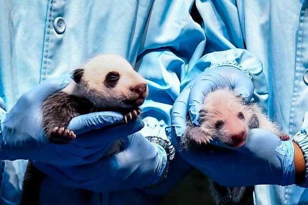 广州长隆大熊猫家族再添新成员