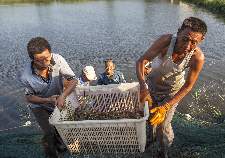 直击滨州万亩淡水虾池丰收现场
