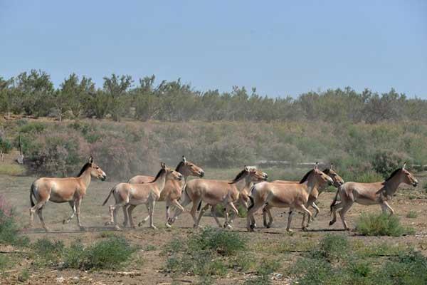 蒙古野驴群回归古尔班通古特沙漠边缘