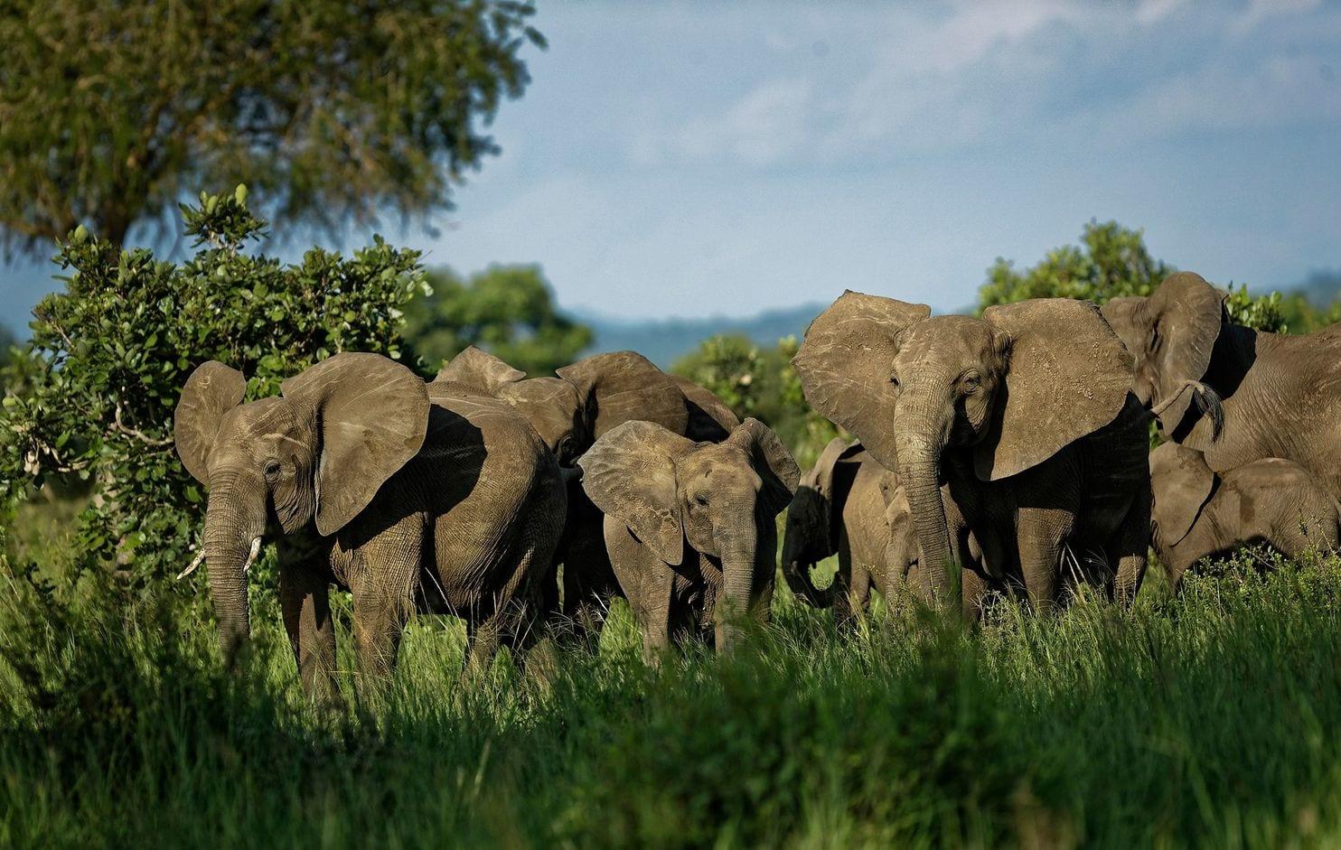 近距离探访坦桑尼亚非洲象群:武装巡逻队对决猖獗偷猎者