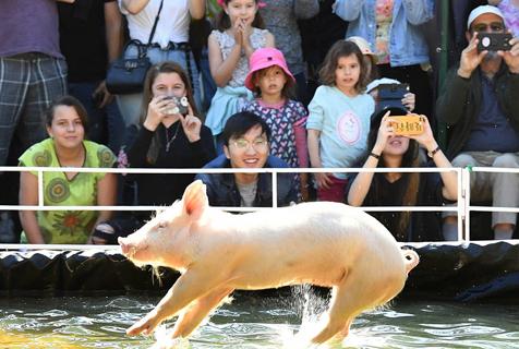 """布里斯班""""皇家昆士兰展""""举行 萌猪跳水赛跑大比拼"""