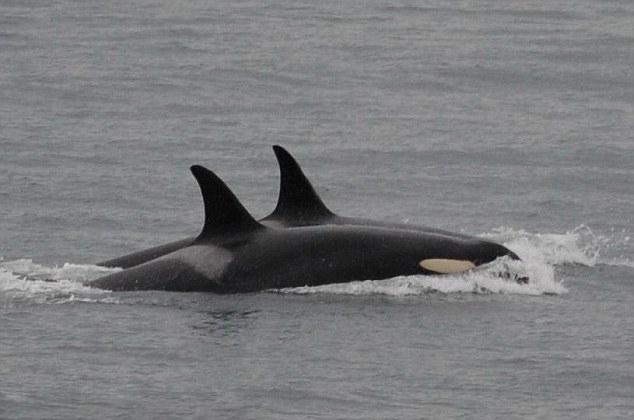 感人!虎鲸妈妈背幼崽尸体两周游1600公里终放弃
