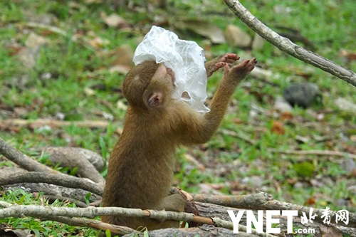 游客随意丢弃塑料垃圾 泰国猕猴正面临毁灭