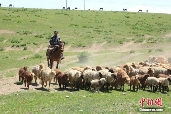"""局地牧草高度近90厘米 内蒙古展现""""风吹草低见牛羊""""画面"""