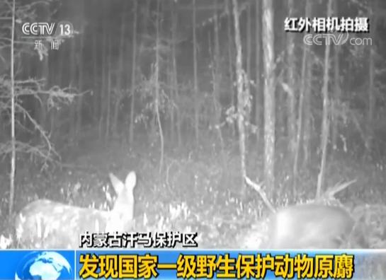 内蒙古汗马保护区发现国家一级野生保护动物原麝