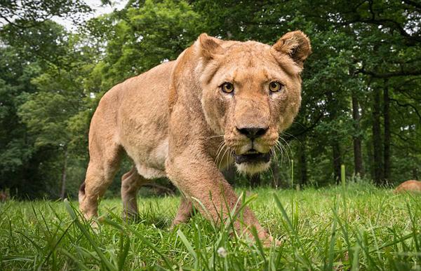 难以置信!遥控摄像机近距离拍摄进食狮群