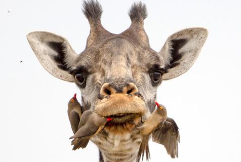 """开荤了?坦桑尼亚长颈鹿一口吞牛椋鸟 接受""""牙科检查"""""""