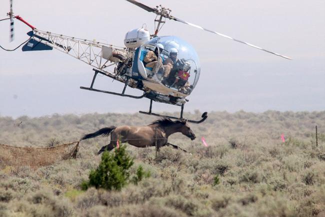 永利网上娱乐牧场开直升机赶马 致4匹马受伤被执行安乐死