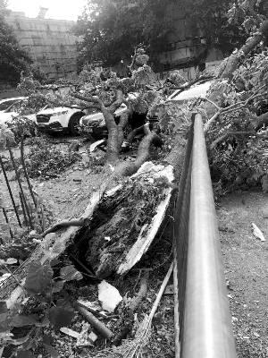 台风吹倒118岁大树:事发时起旋风 古树瞬间被撕裂