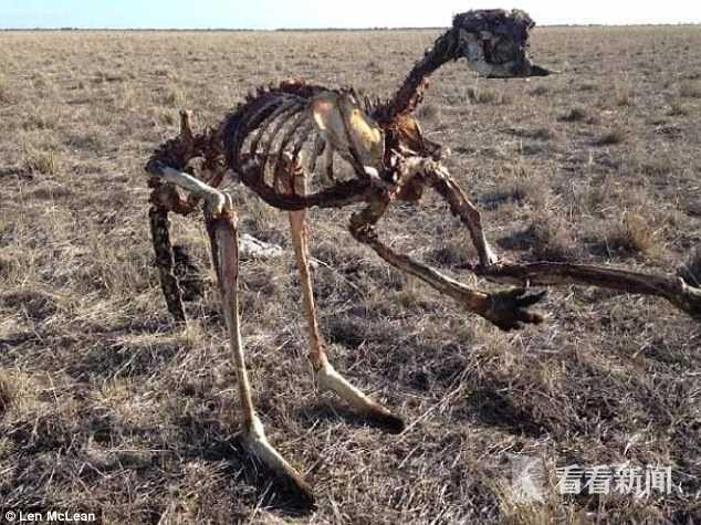 4个月没见雨滴 世纪干旱把澳洲袋鼠饿成骨架标本